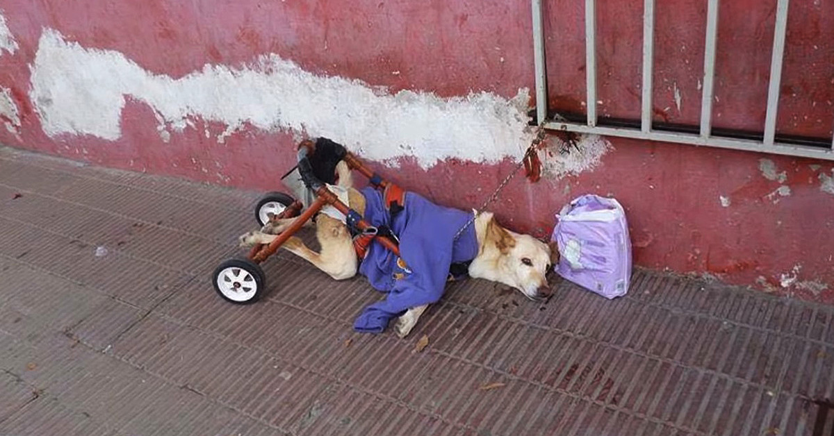 Paralyzed Dog Gets Deserted On A Street With Its Broken Wheelchair And A Bag Of Diapers