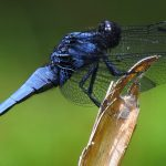 Dragonflies For Mosquito Control