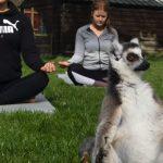 lemurs yoga