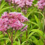 Joe-Pye Weed (Eupatorium purpureum)