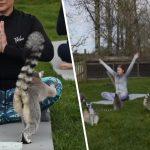 yoga with lemurs