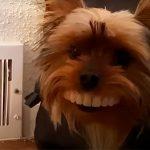 dog steels fals teeth