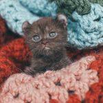 kitten with bear ears 2