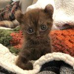 kitten with bear ears 4