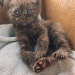 kitten with bear ears 9