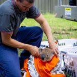 koala Australia injured