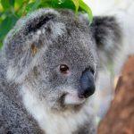koala back home