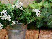 A Jasmine Plant In Your House Will Help You Reduce Your Stress And Anxiety Levels